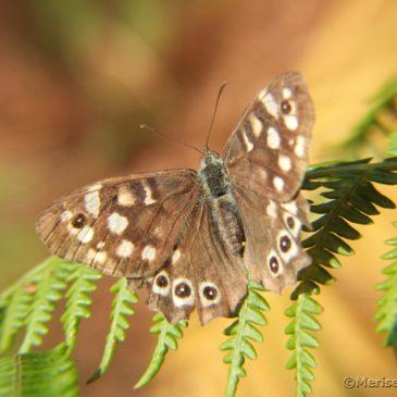 Brauner Waldvogel Schmetterling