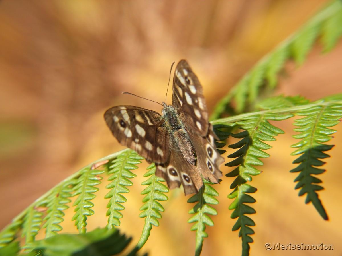 Schmetterling brauner Waldvogel