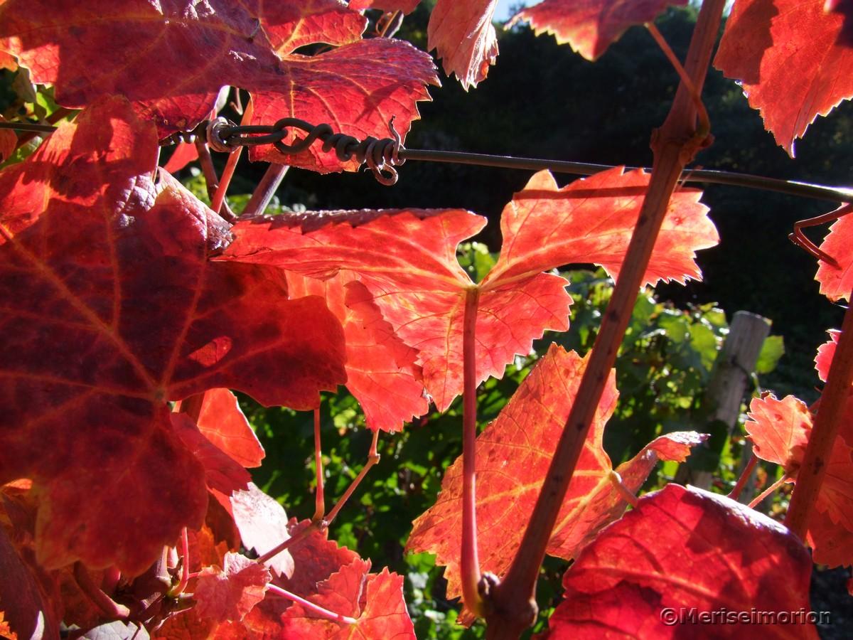Sonne und Weinblätter