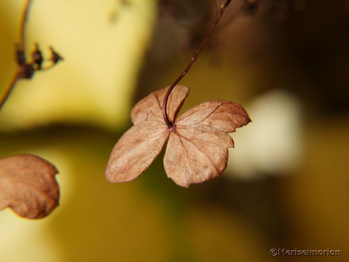 Kletterhortensien Blüte