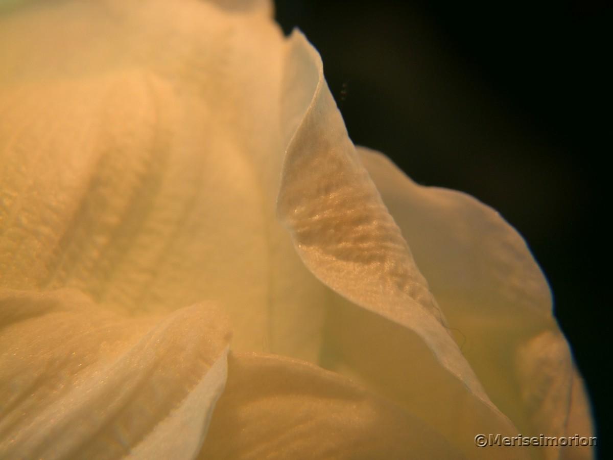Amaryllis Blütenblätter