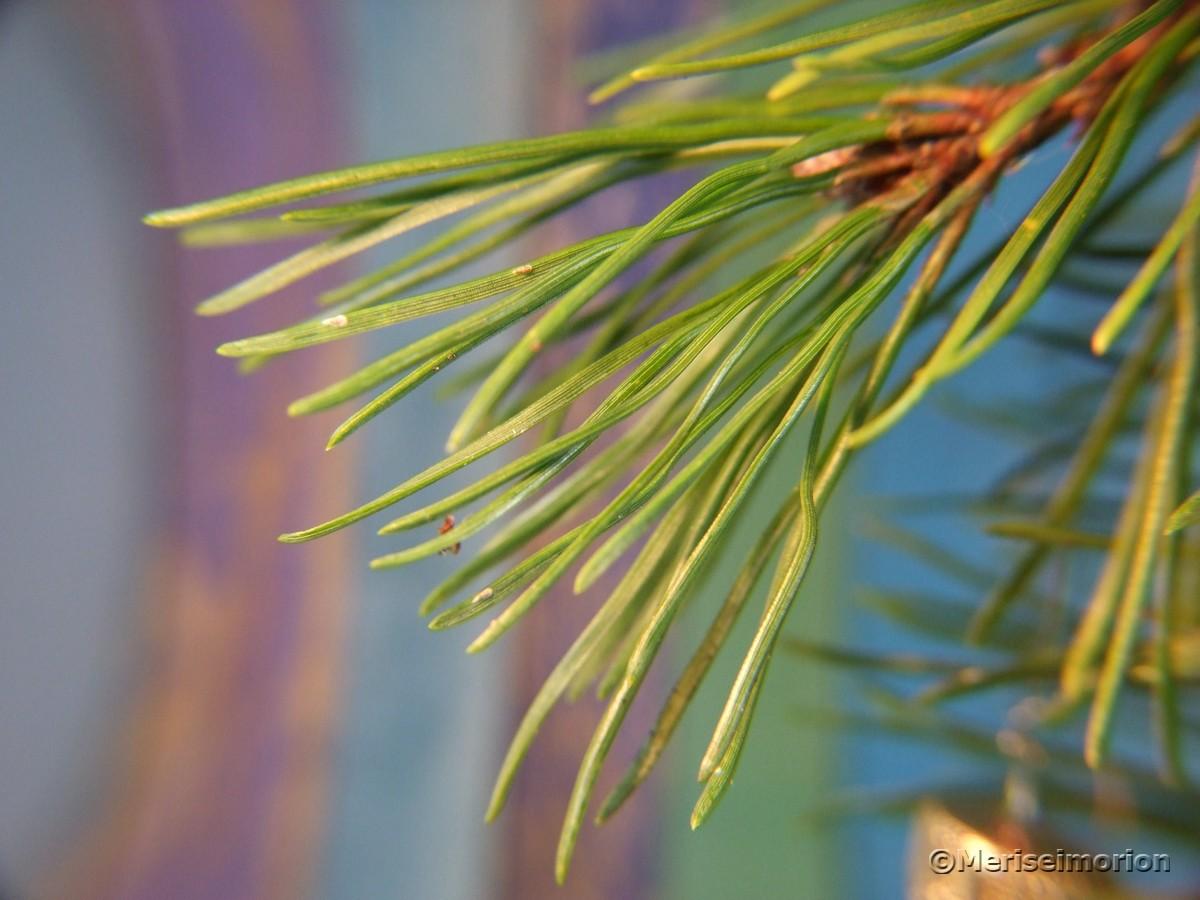 Tannenbaum aus Kiefernzweigen