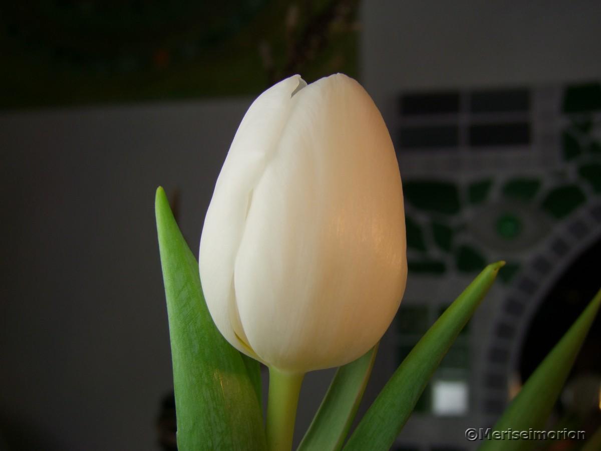 Tulpen Frühlingsdeko