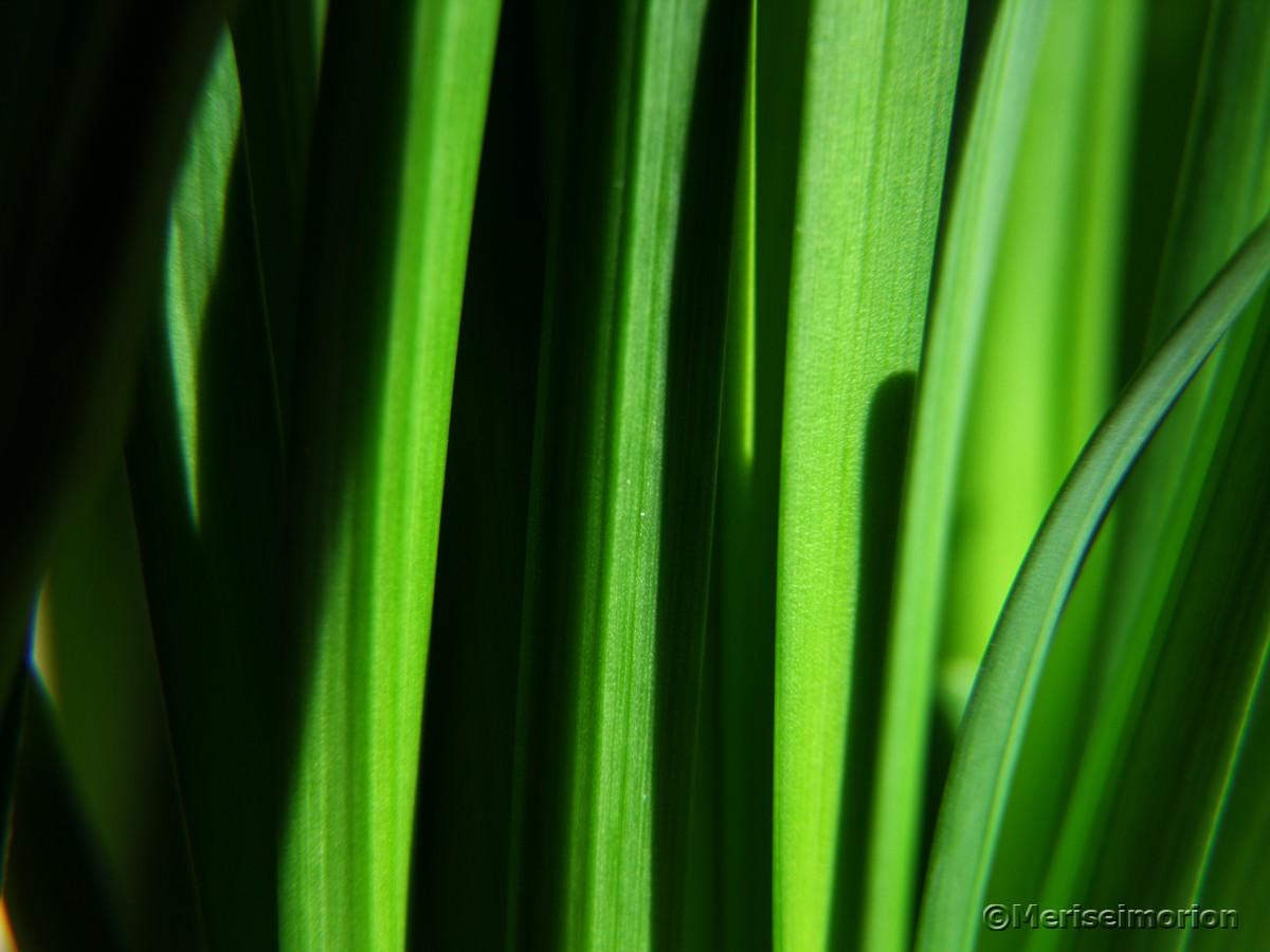 Mini Narzissen Blätter