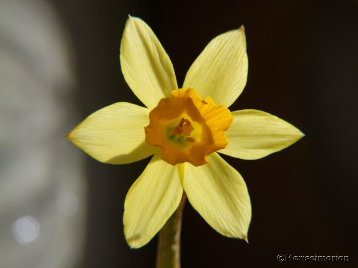 Frühlingsblüher narzisse