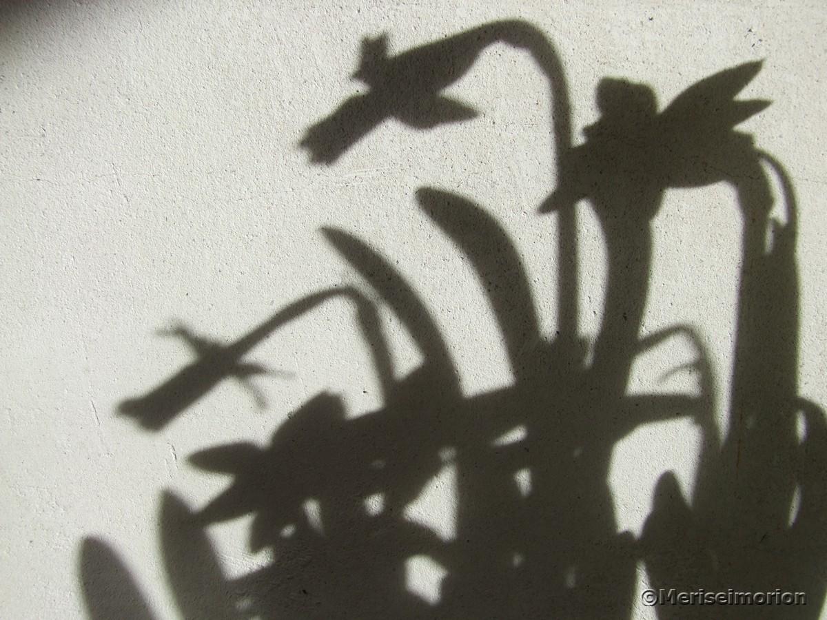 Mini Narzissen Schattenbild