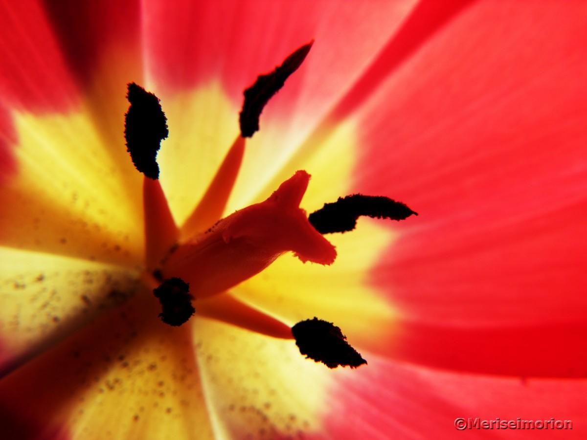 Makroaufnahme rote Tulpe