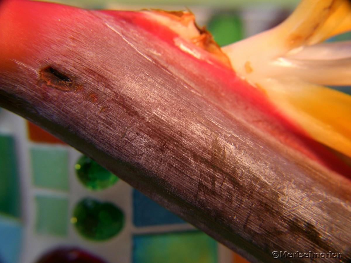 Strelitzie oder Papageienblume