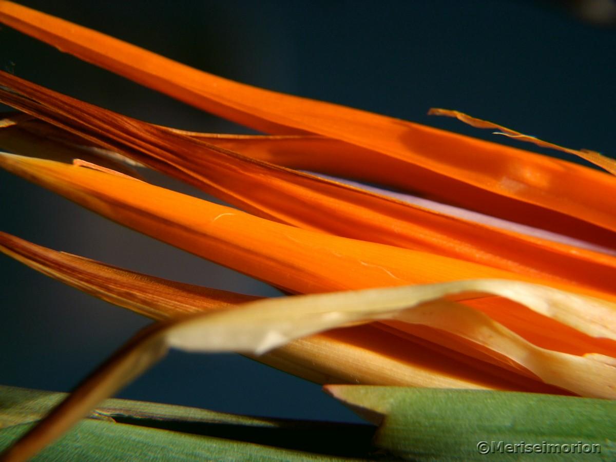 Strelitzien Blütenblätter