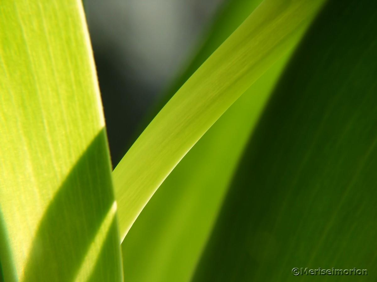 grüne Tulpenblätter