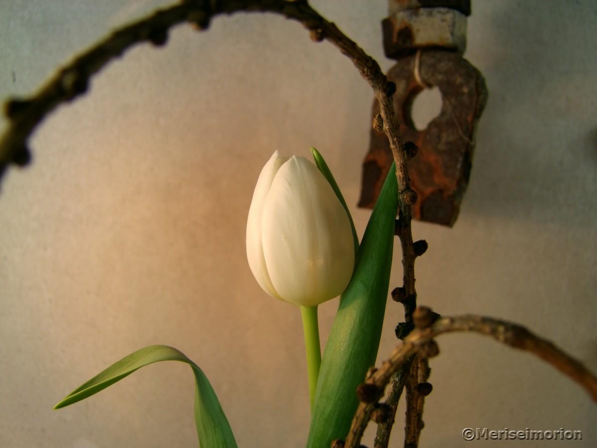 Weiße Tulpen dekorieren