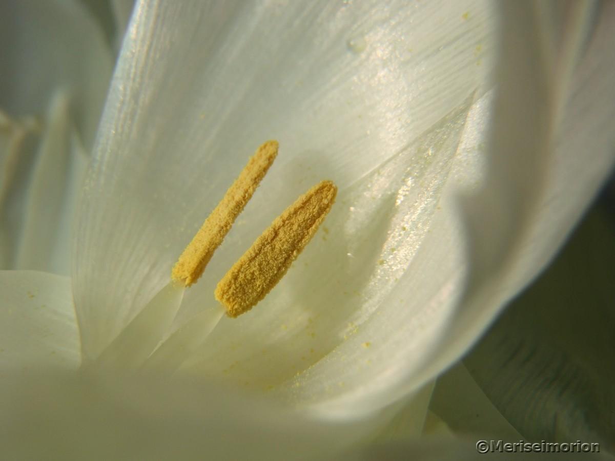 verblühte Tulpen Staubgefäße