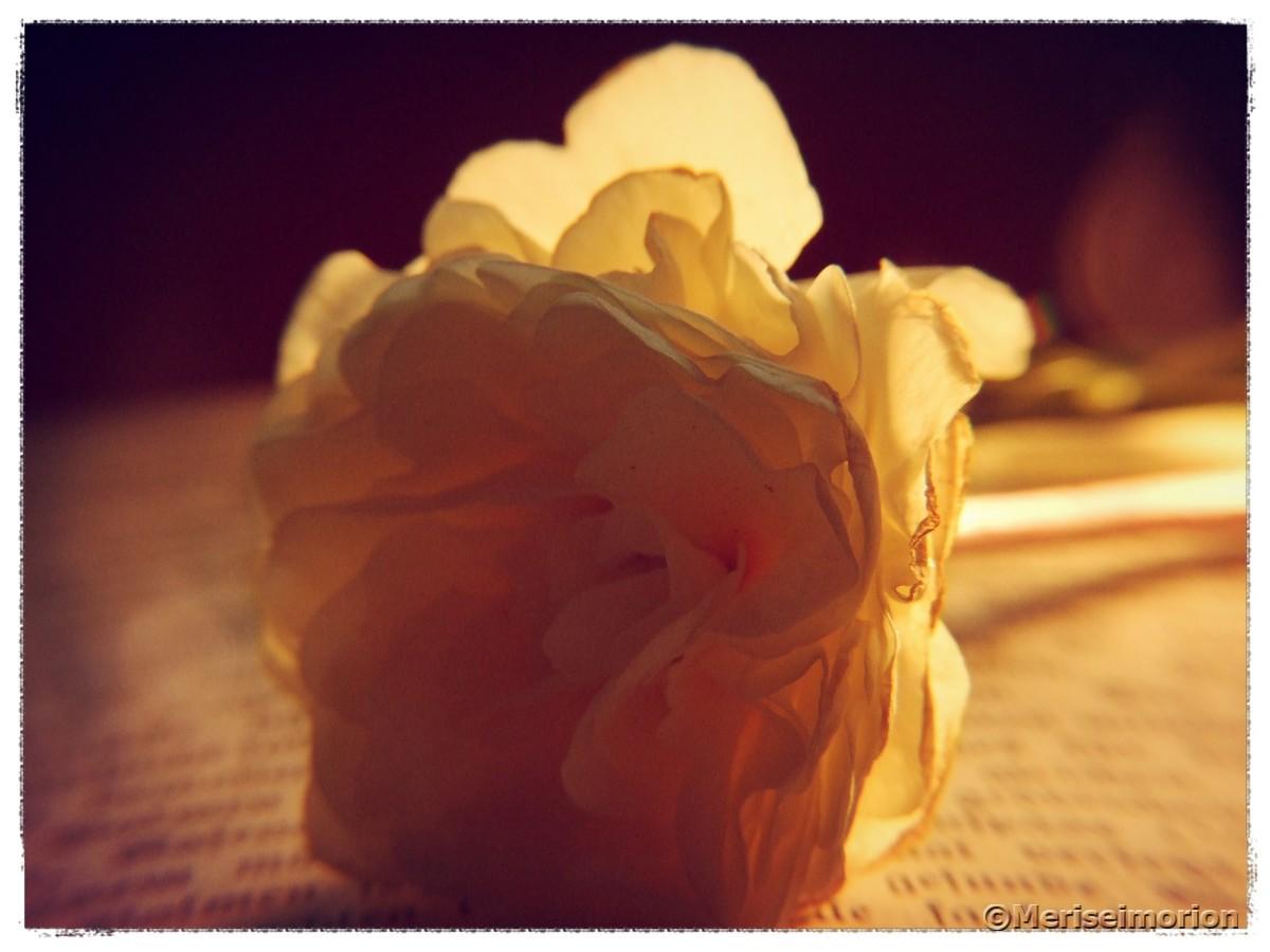 Primelnblüte