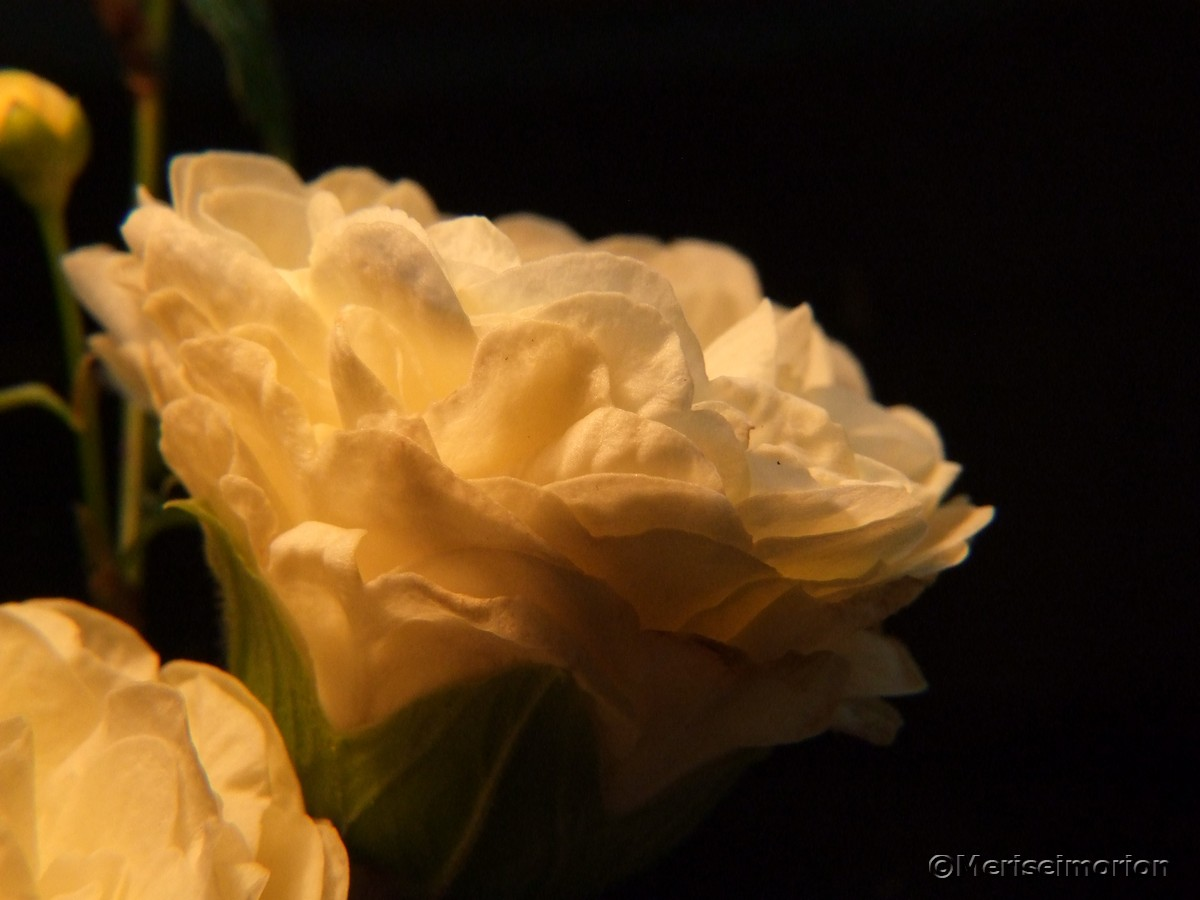weiße Rosenprimeln