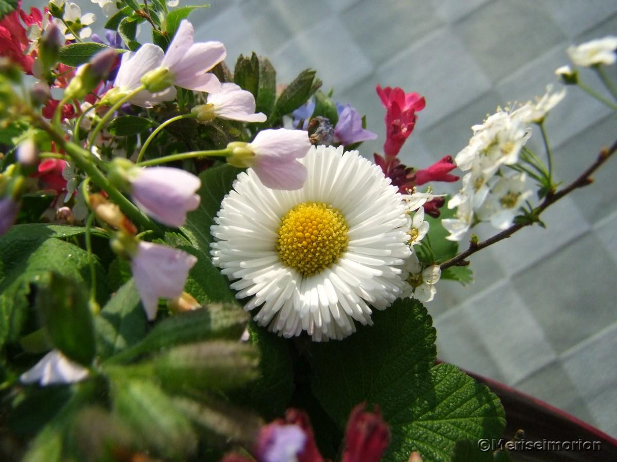 Bellis Blumenstrauß