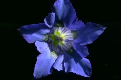 Blauer Enzian aus dem Garten