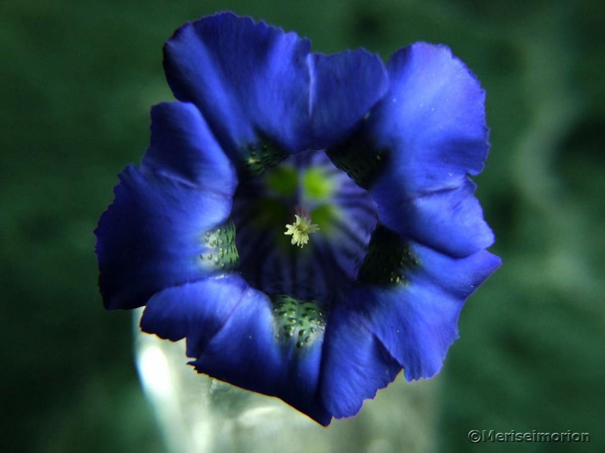 Gentiana blauer Enzian