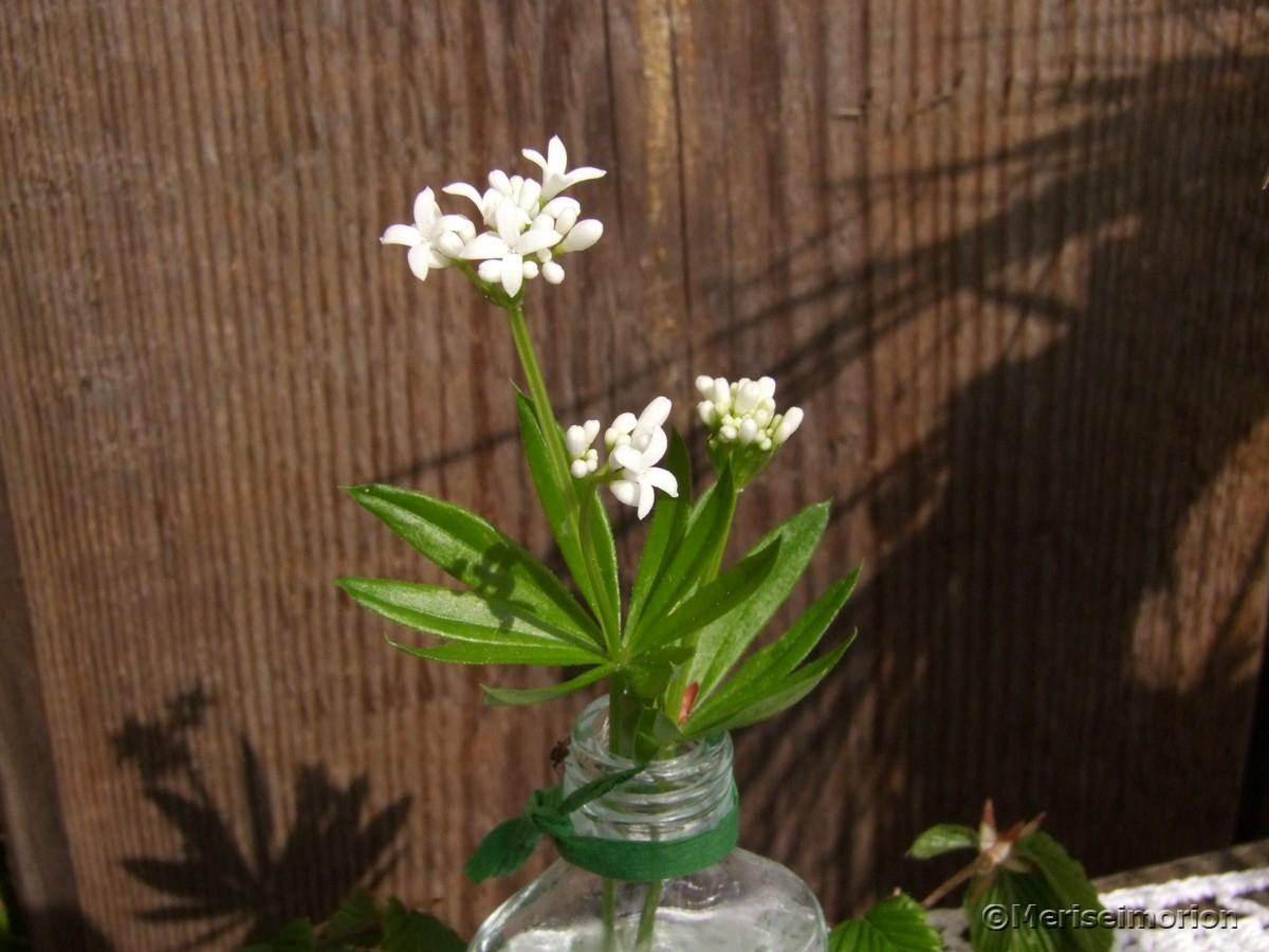 Waldmeister Blüten