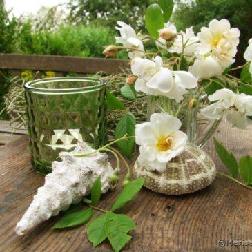 Die weiße Ramblerrose Lykkefund blüht