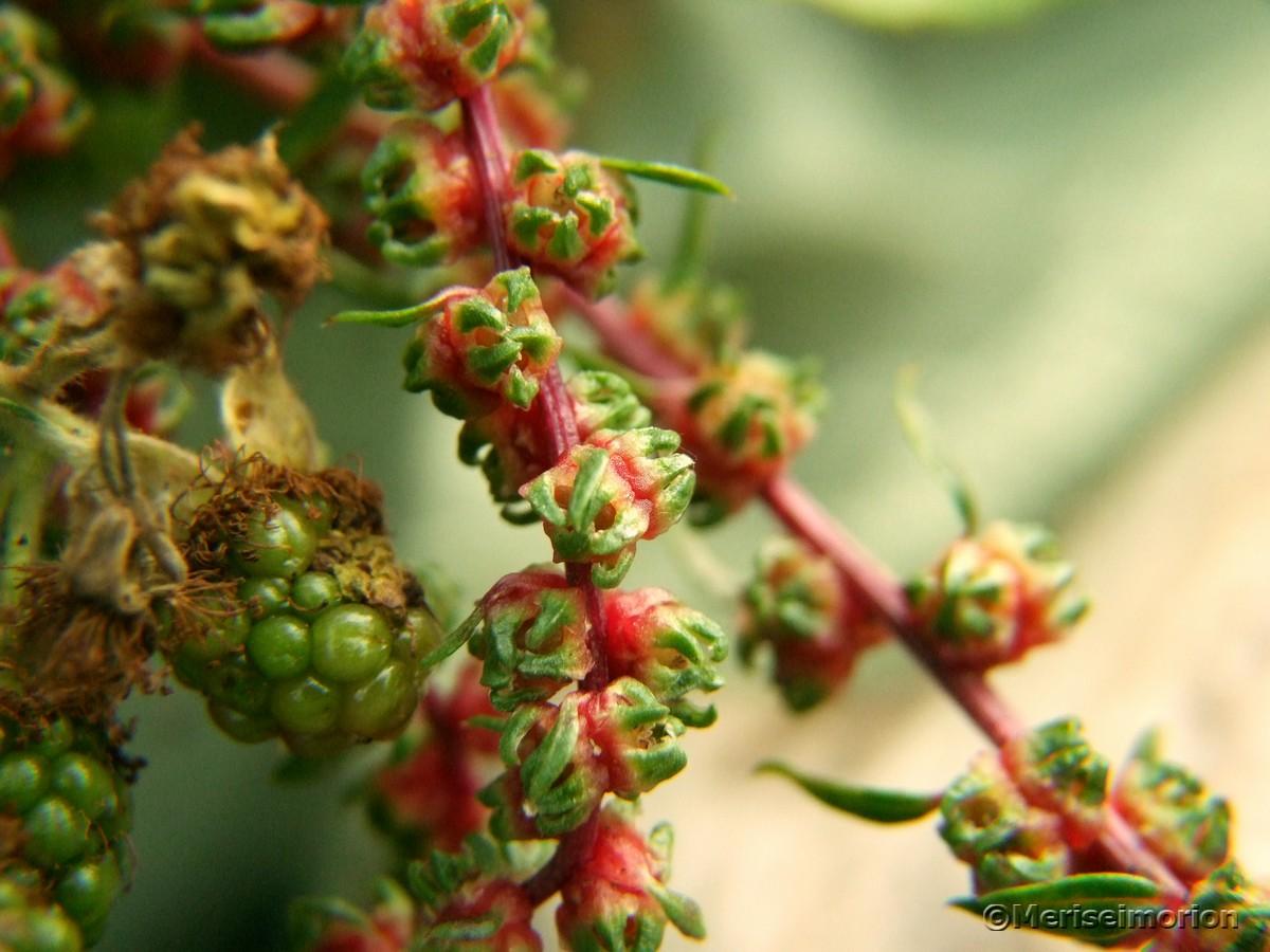 Mangold Samen