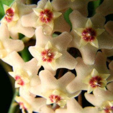 Die Porzellanblume oder Wachsblume Hoya carnosa