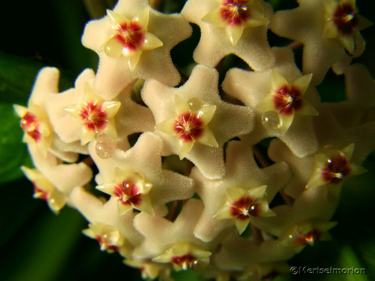 Porzellanblume Hoya carnosa