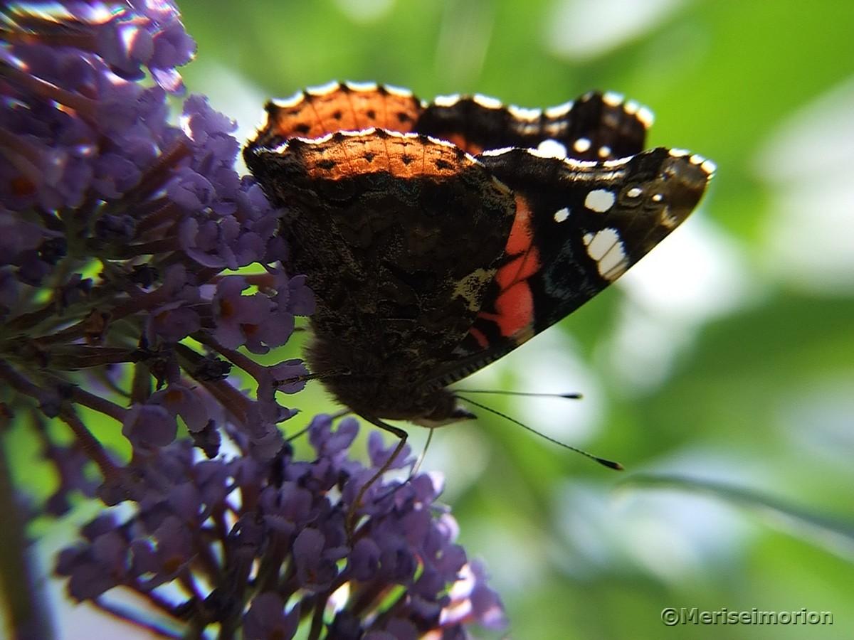 Schmetterlingsflieder im Garten