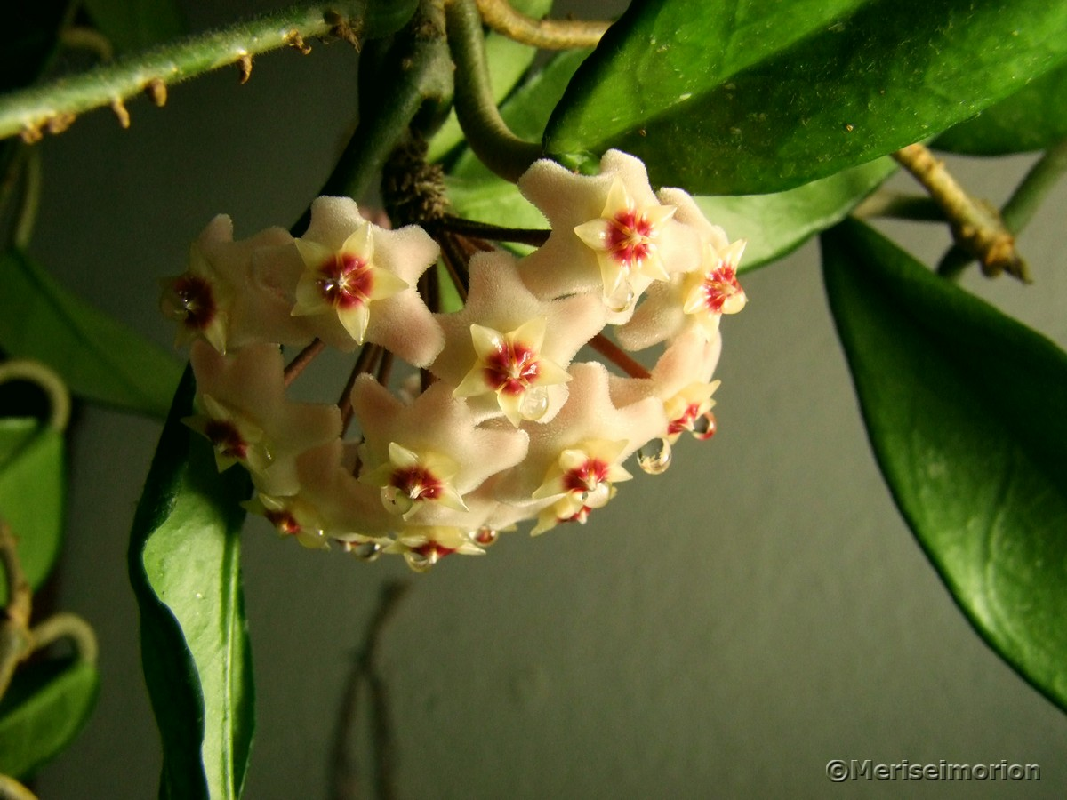 Wachsblume blüht