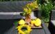 Gelbe Patisson Zucchini Tischdeko