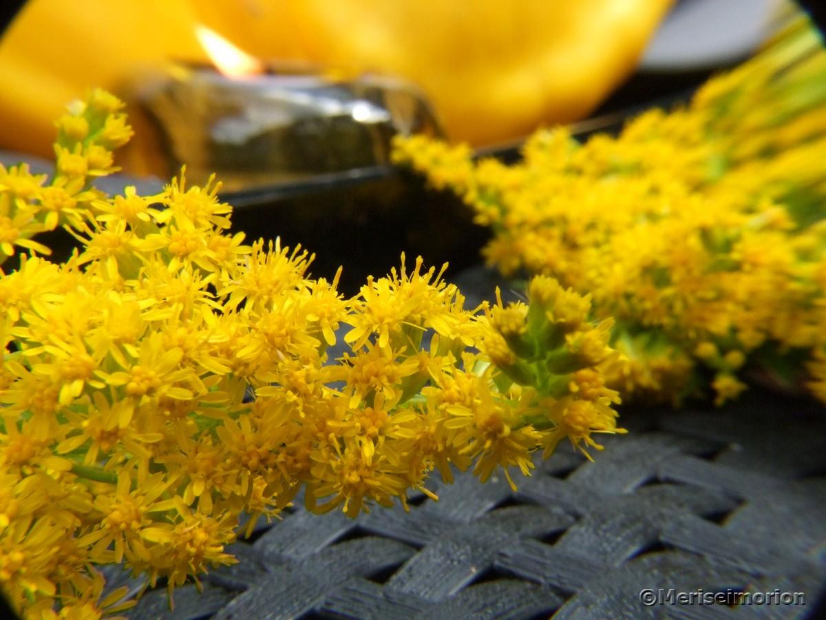 Goldraute im Garten