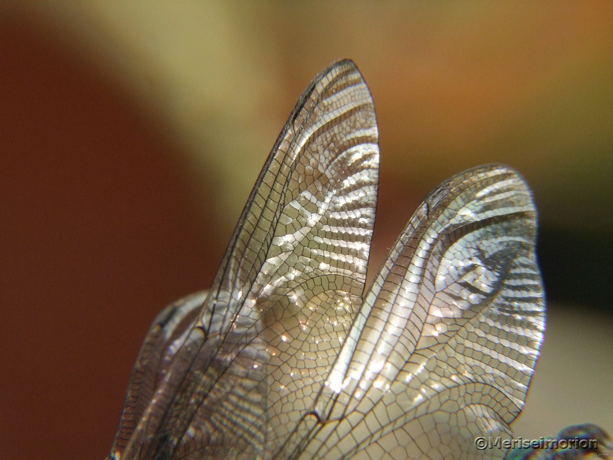 Libellen-Flügel