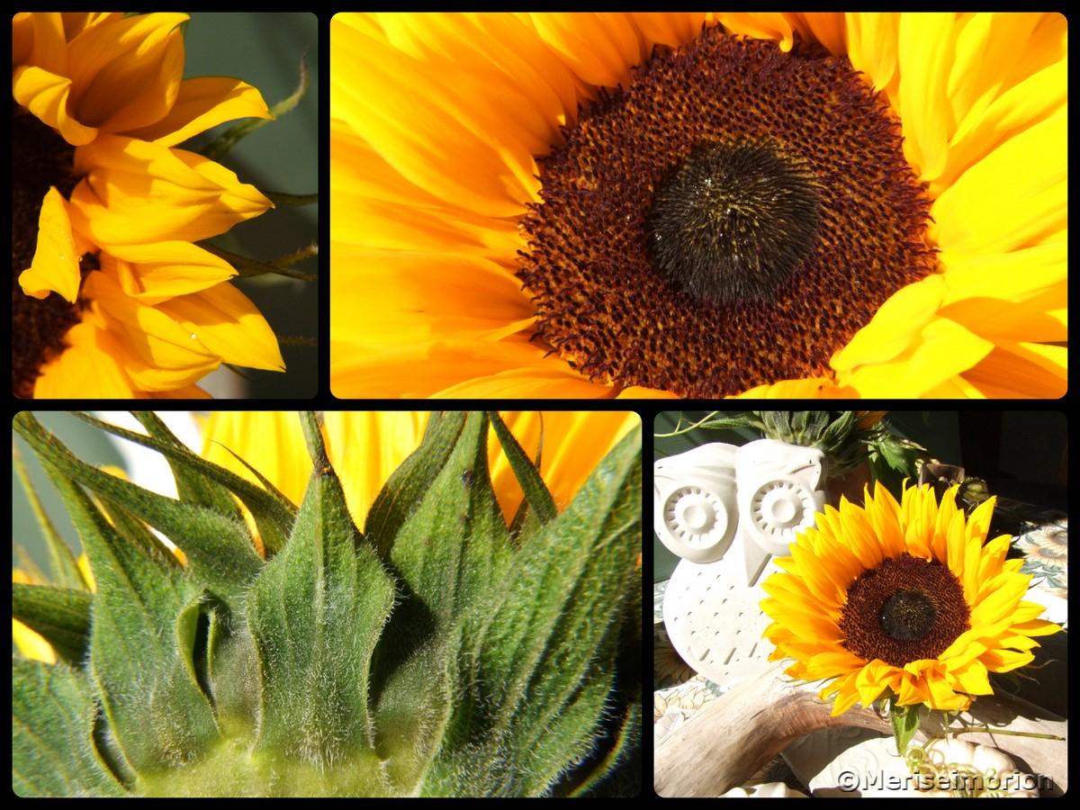 Sonnenblumen Bilder