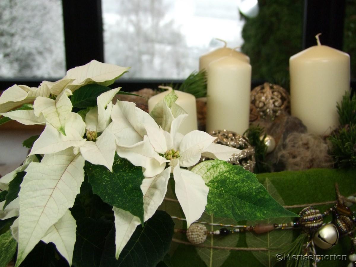 weiße Weihnachtssterne