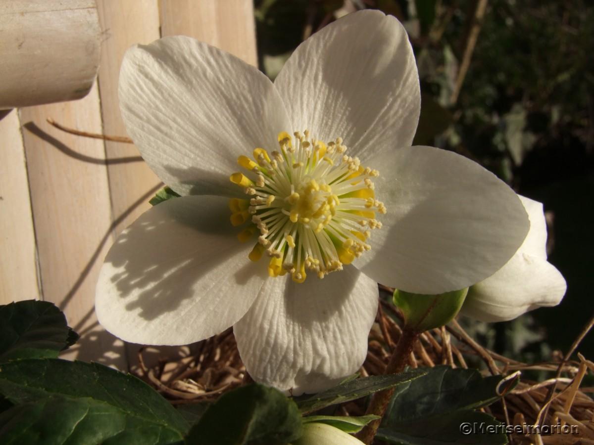 Christrose im Vorgarten