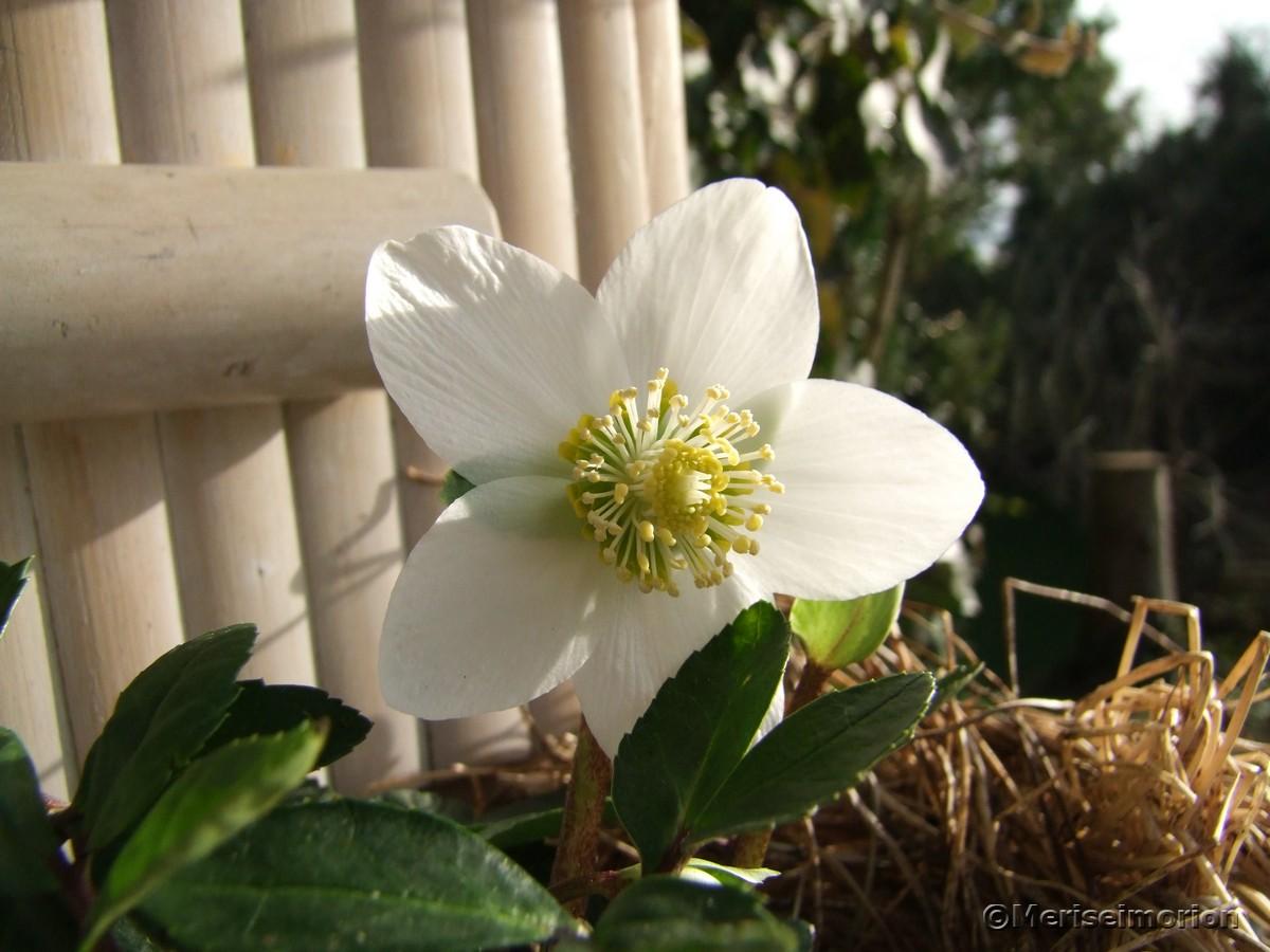 weiße Christrosen