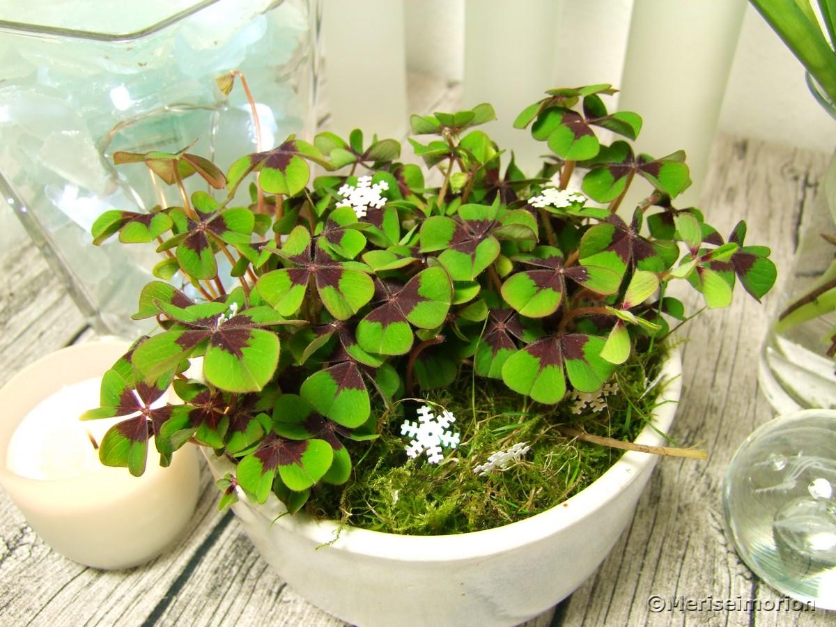 Glücksklee einpflanzen