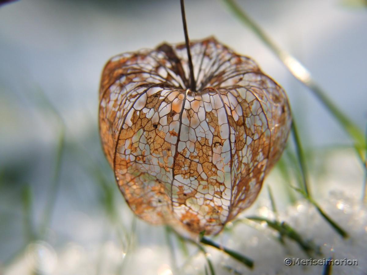verwitterte Lampionblumen