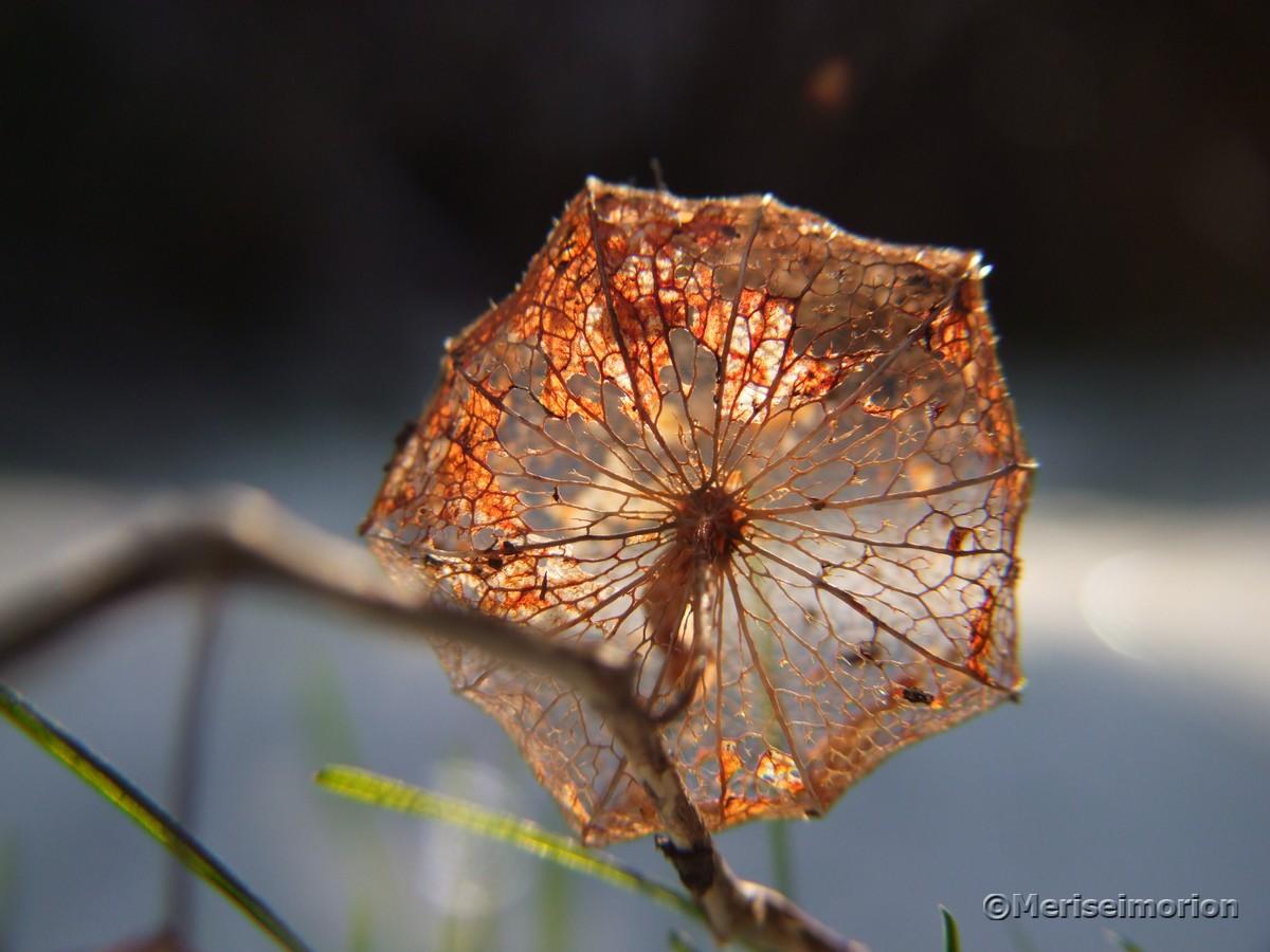 Lampionblume skelettiert Makroaufnahme