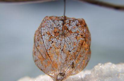 Skelettierte Lampionblumen und andere Naturschönheiten