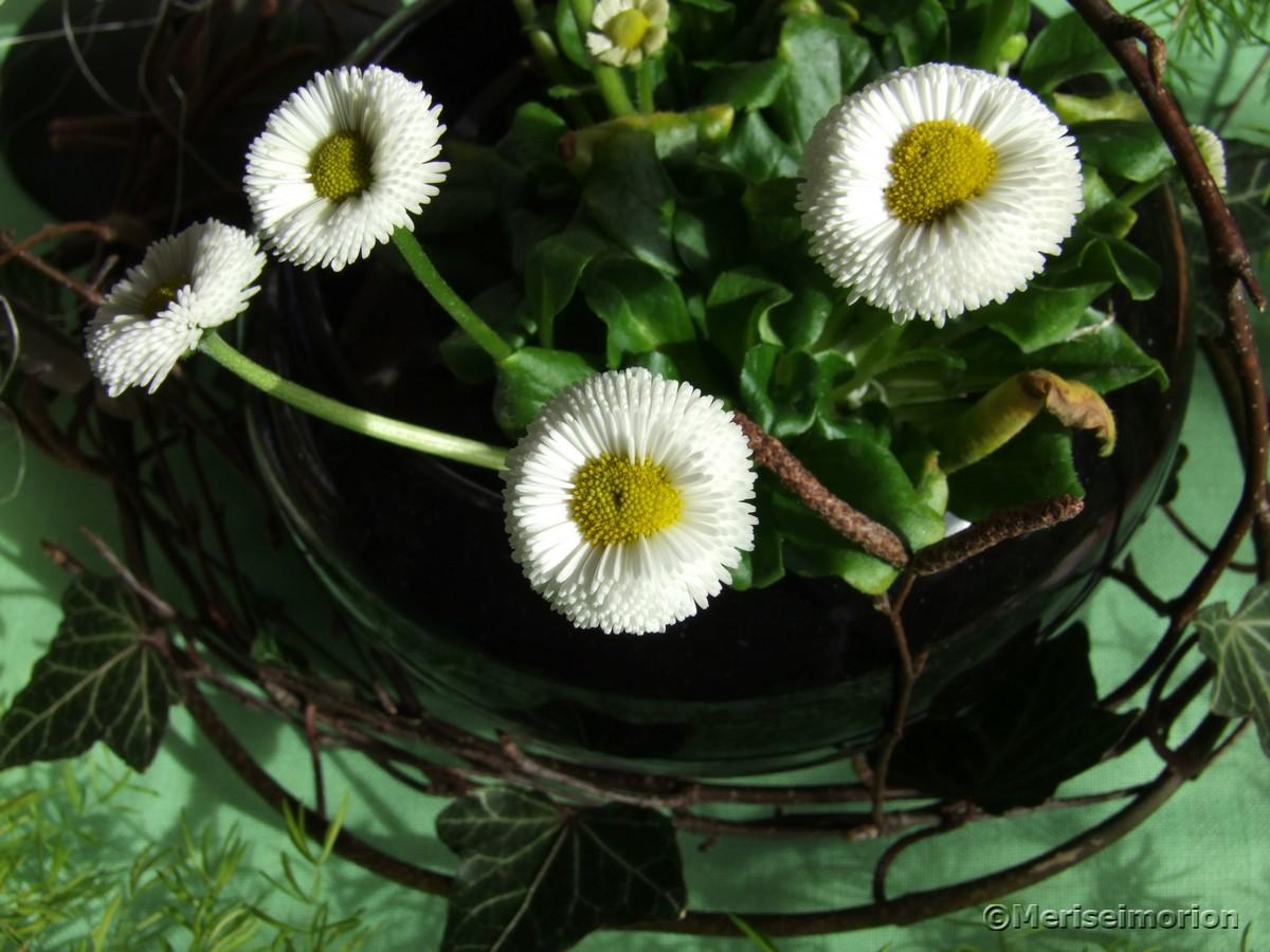 Bellis oder Gänseblümchen