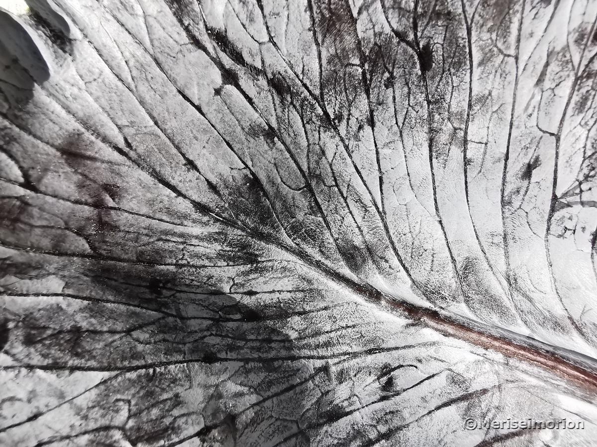 Makrophotographie Rotkohl