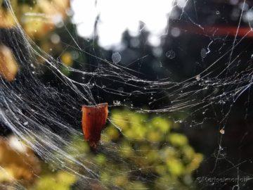 Spinnennetz im November