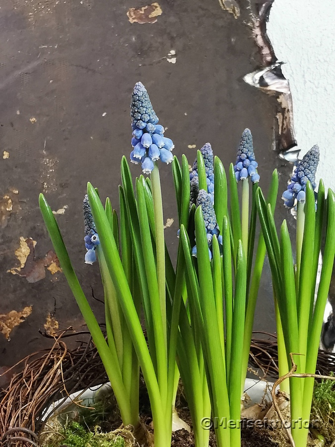 Blaue Traubenhyazinthe